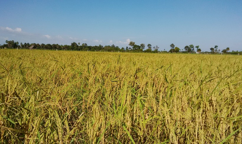 Rice Field in Cambodia